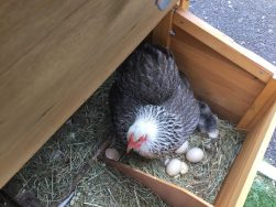 chick2 251x188 - Care Homes Dorset & Residential Care Wiltshire